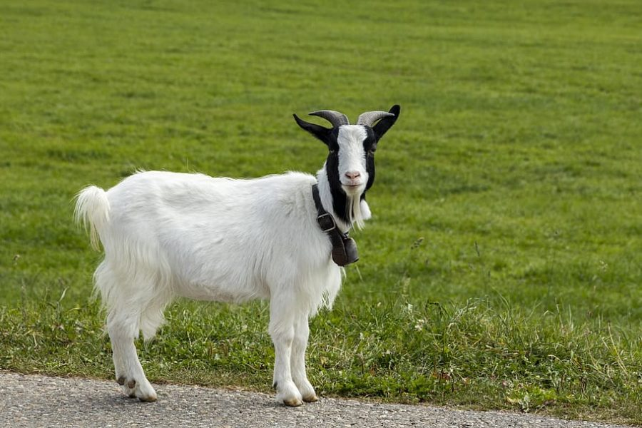 Goats are more intelligent than they appear